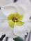 Dianthus Key Lime Pie