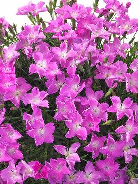 Photo of Dianthus Kahori Pink