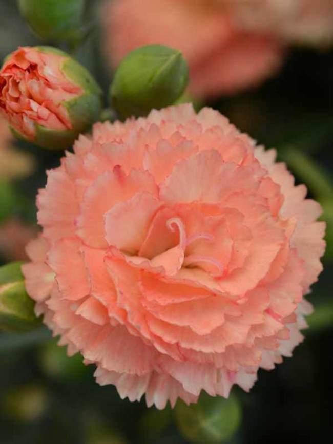Dianthus Super Trouper Orange