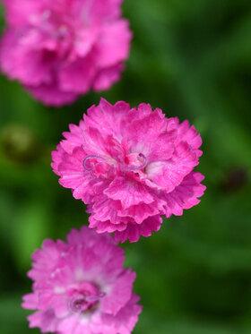 Photo of Dianthus Pink Pompom