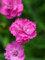 Dianthus Pink Pompom
