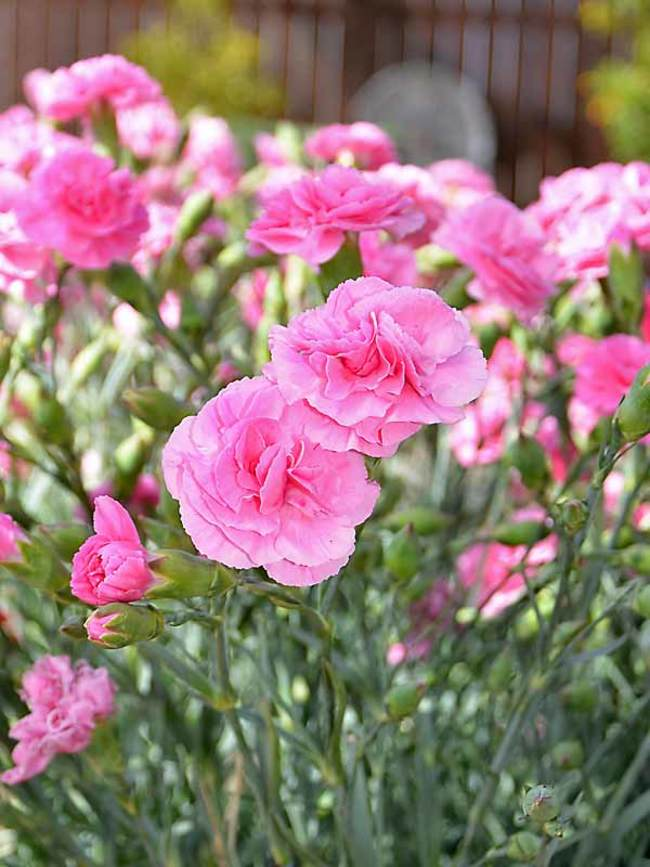 Dianthus Rosy Cheeks