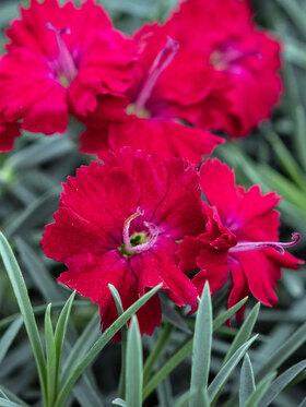 Photo of Dianthus Red Garnet