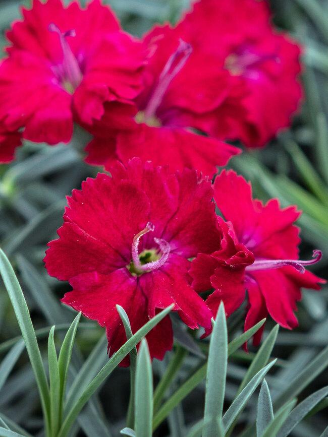 Dianthus Red Garnet