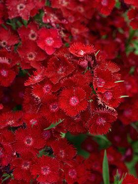 Photo of Dianthus Rockin' Red
