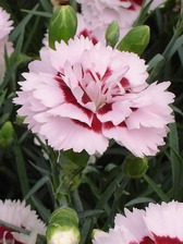 Dianthus Raspberry Surprise