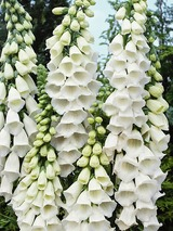 Digitalis Snow Thimble