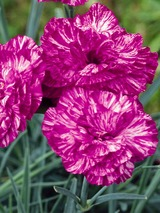 Dianthus Cosmic™ Pink Swirl