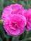 Dianthus Tickled Pink