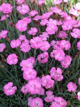 Dwarf mat pink. Double little flowers over miniature foliage