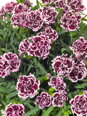 Photo of Dianthus Odessa Pierrot