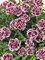 Dianthus Odessa Pierrot
