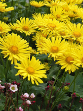 Doronicum Little Leo
