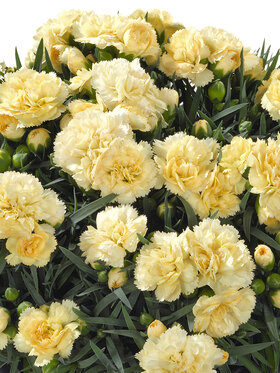 Photo of Dianthus Sunflor Amber