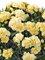 Dianthus Sunflor Amber