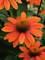 Echinacea Sombrero Adobe Orange