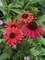 Echinacea Baja Burgundy