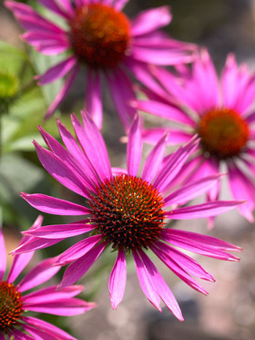 A compact coneflower, deep pink rays with an orange crest.