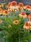Echinacea Cantaloupe