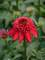 Echinacea Double Scoop Cranberry