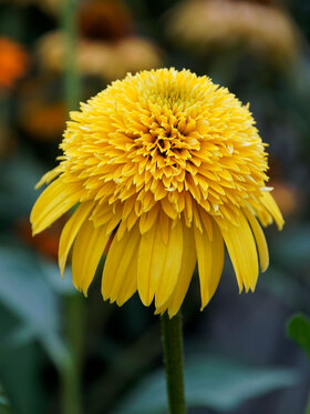 Photo of Echinacea Cara Mia Yellow