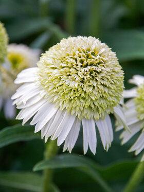 Photo of Echinacea Delicious Nougat