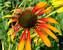 Echinacea Fiery Meadow Mama