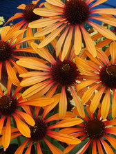 Echinacea Flame Thrower