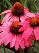 Echinacea Glowing Dream