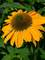 Echinacea Sombrero Granada Gold