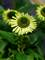 Echinacea Green Jewel