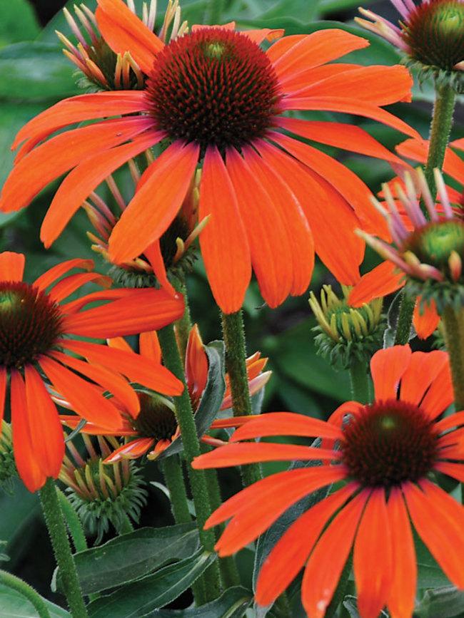 Echinacea Julia