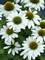 Echinacea Kismet White