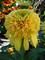 Echinacea Lemon Drop