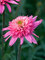 Echinacea Mini Belle