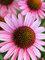 Echinacea Pixie Meadowbrite
