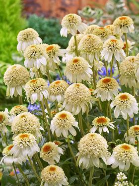 Echinacea Milkshake -- Bluestone Perennials