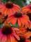 Echinacea Orange You Awesome