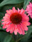 Echinacea Coral Craze