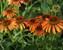 Echinacea Orange Skipper