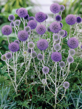 Highly ornamental, Steely blue flowers, likes any soil