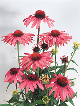 CONEFLOWER. Large blossoms