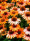 Echinacea Prima Ginger