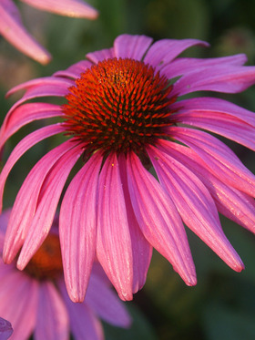 A more compact and contained rose pink coneflower