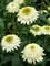Echinacea Puff Vanilla