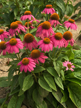 One of the best new additions to the coneflower family, a multitude of blooms.