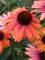 Echinacea Rainbow Marcella