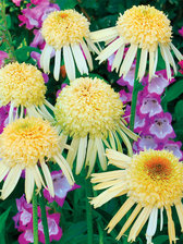 Echinacea Secret Joy