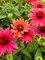 Echinacea Sombrero Tres Amigos
