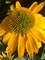 Echinacea Kismet Yellow